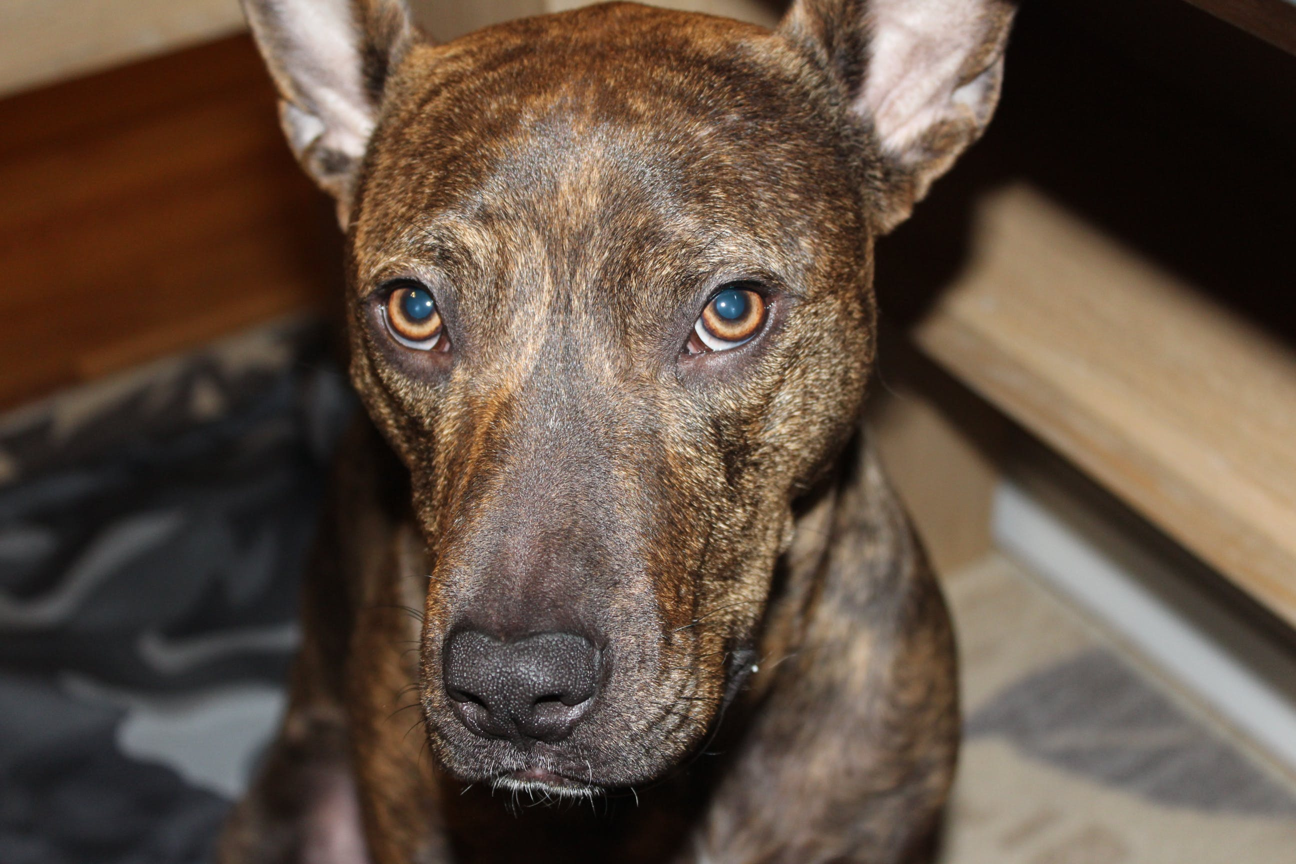 Free stock photo of brindle, brown, dog, rescue dog