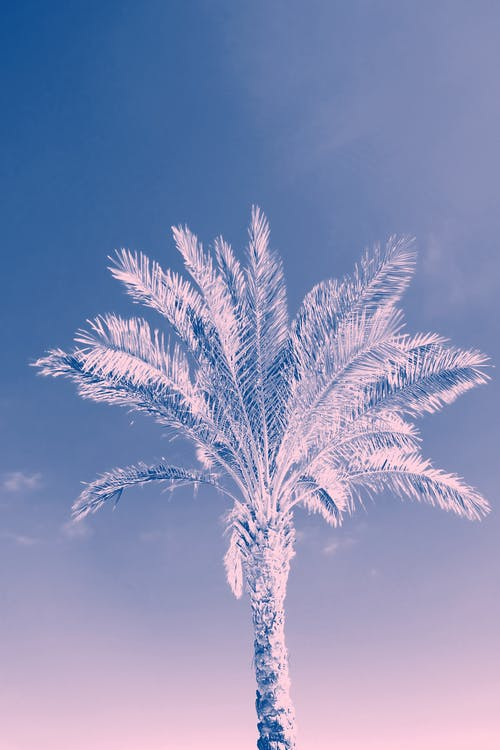 Darmowe zdjęcie z galerii z drzewo, drzewo kokosowe, drzewo palmowe, kolor