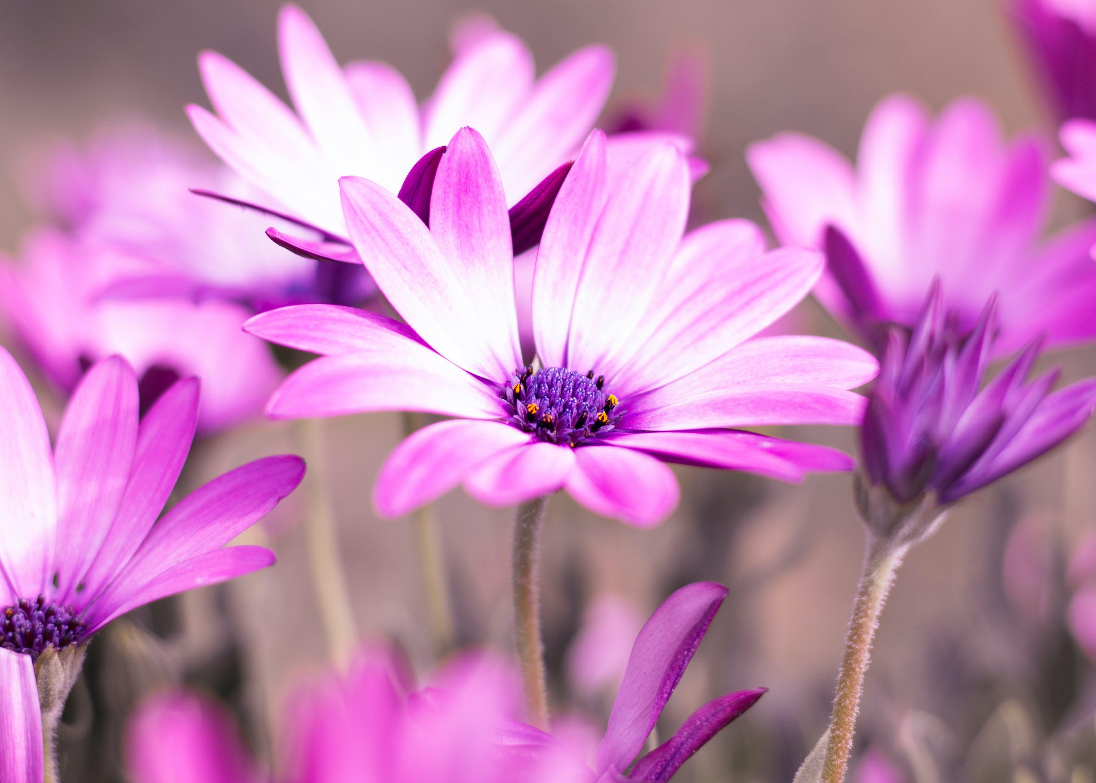 Selective Photo of Purple Daisy Flowers