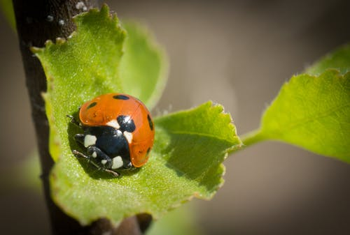 Free stock photo of ladybug summer leaf red green