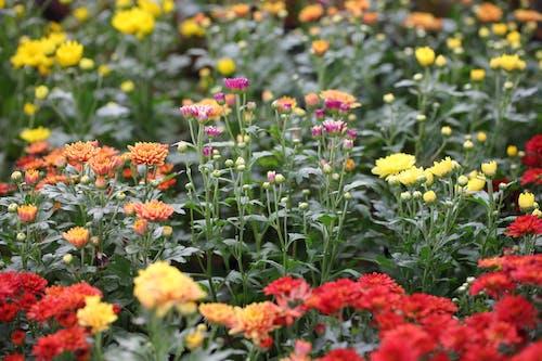Foto d'estoc gratuïta de flors, jardí, natura
