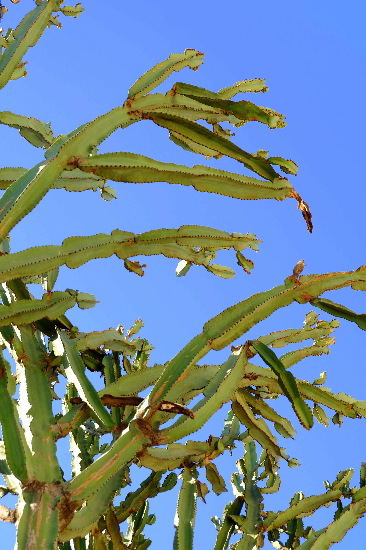 Free stock photo of blue, cacti, cactus, desert