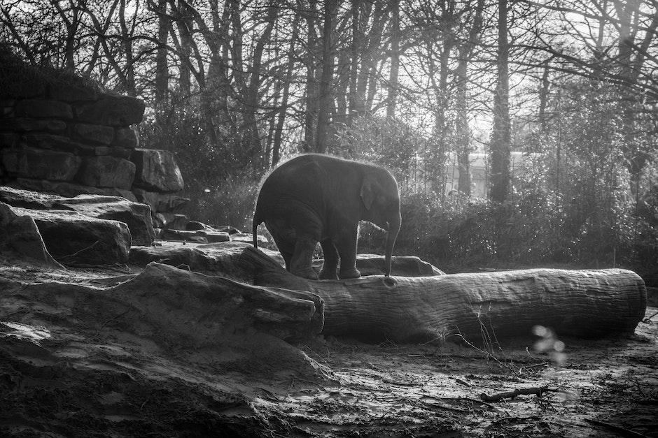 animal, black-and-white, elephant