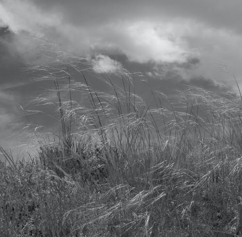 Free stock photo of black and white, dry grass, wind