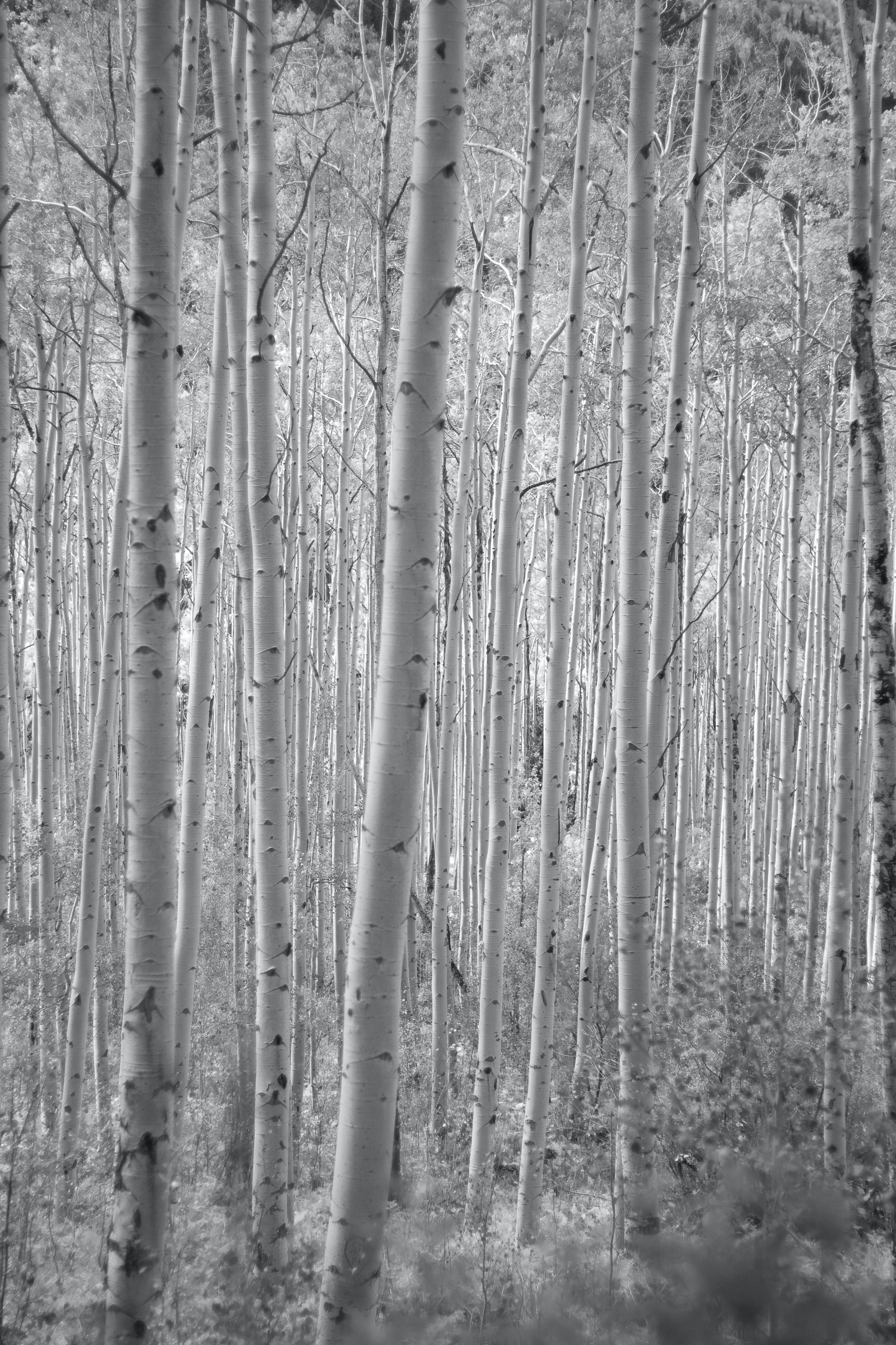 Free stock photo of aspens, black and white