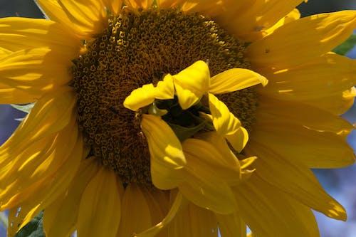 Безкоштовне стокове фото на тему «Соняшник»