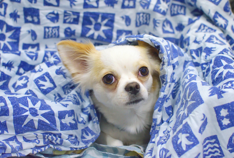 Gratis lagerfoto af chihuahua, dyr, hund, kæledyr