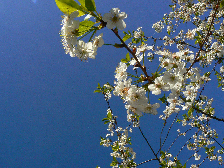 Free stock photo of flowers tree tree with flowers edit with snappa flowers tree izmirmasajfo