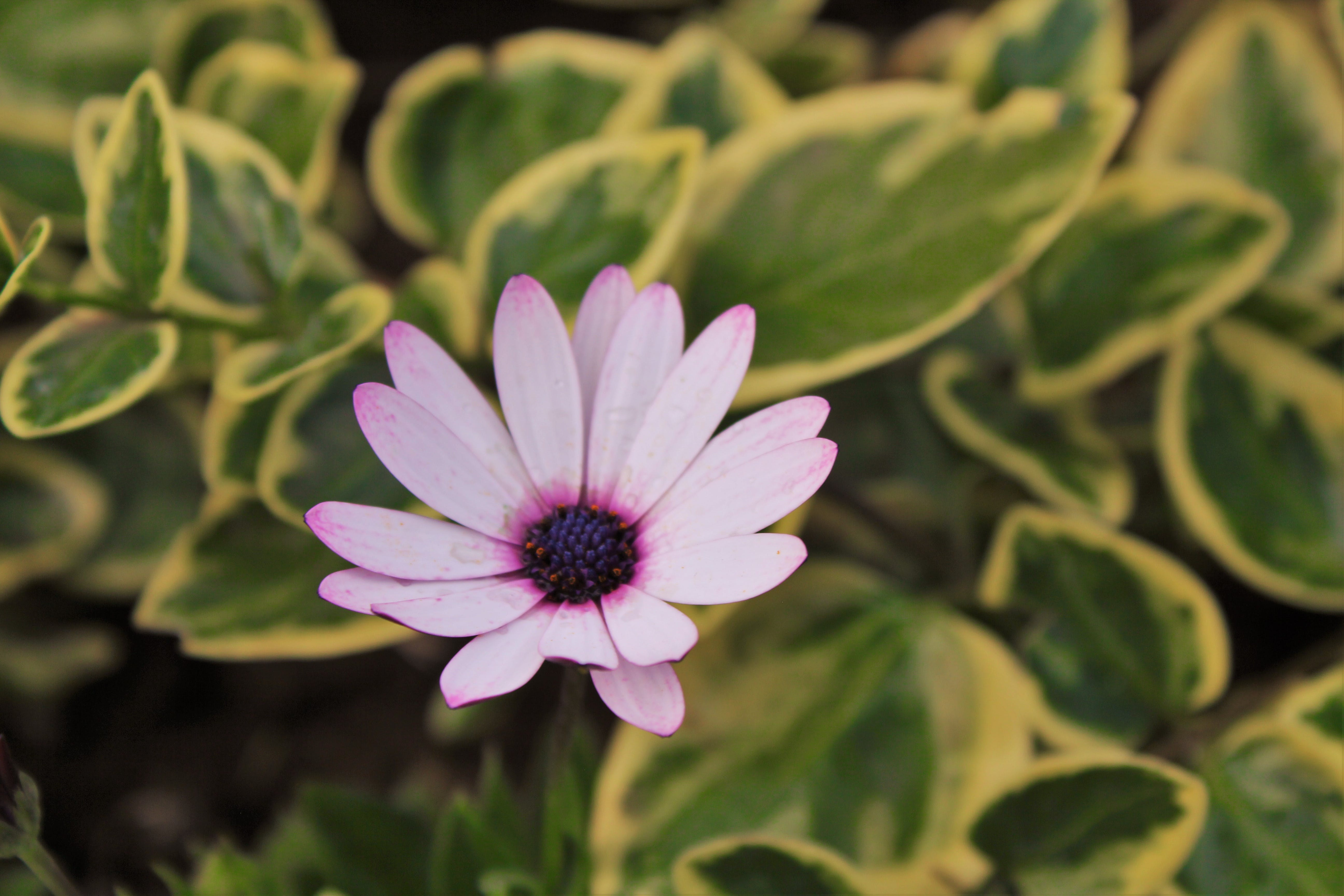 Free stock photo of beautiful flowers, flowers, garden, violet