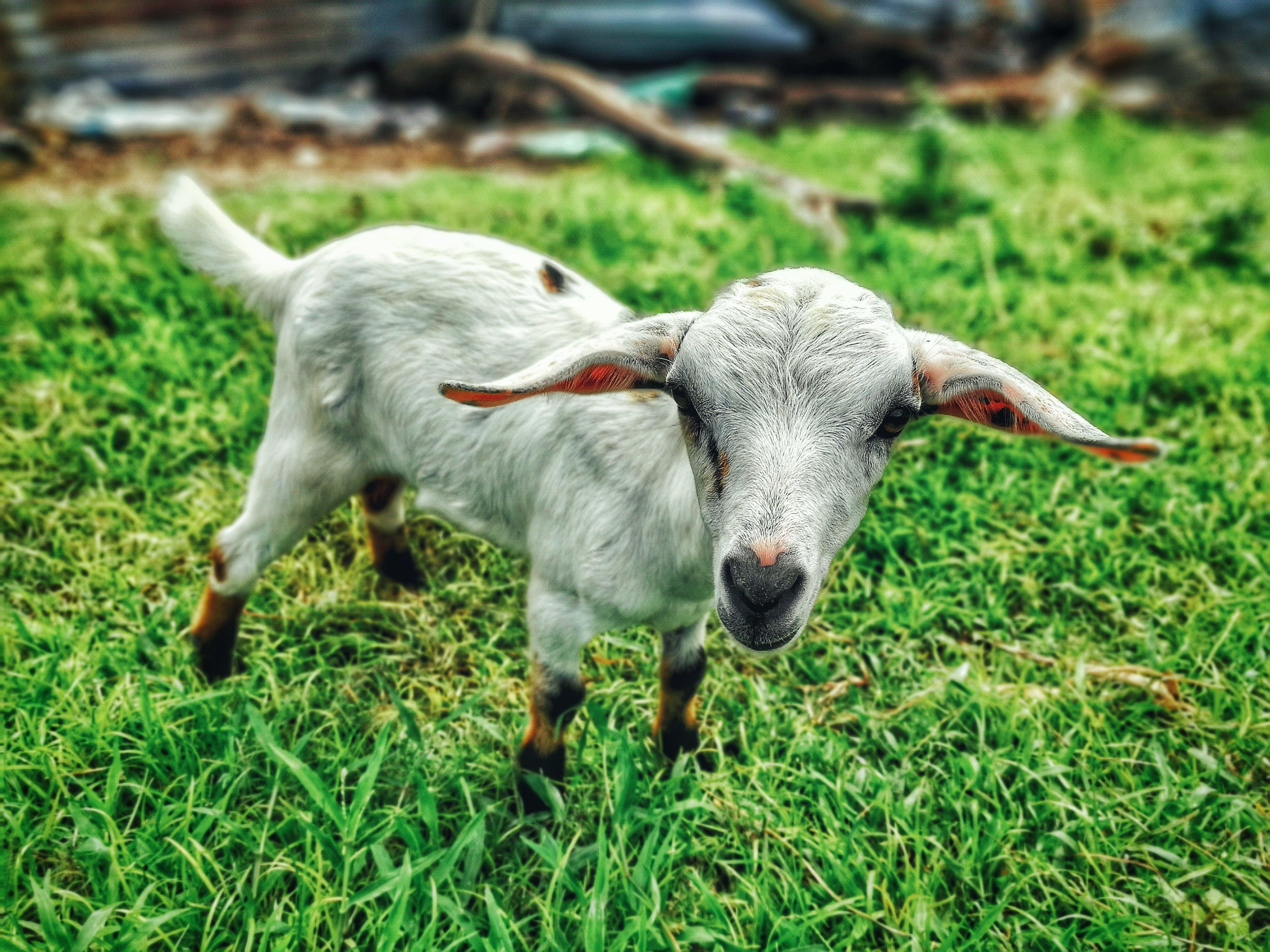 Free stock photo of animal farm, farm animal, goat, grass