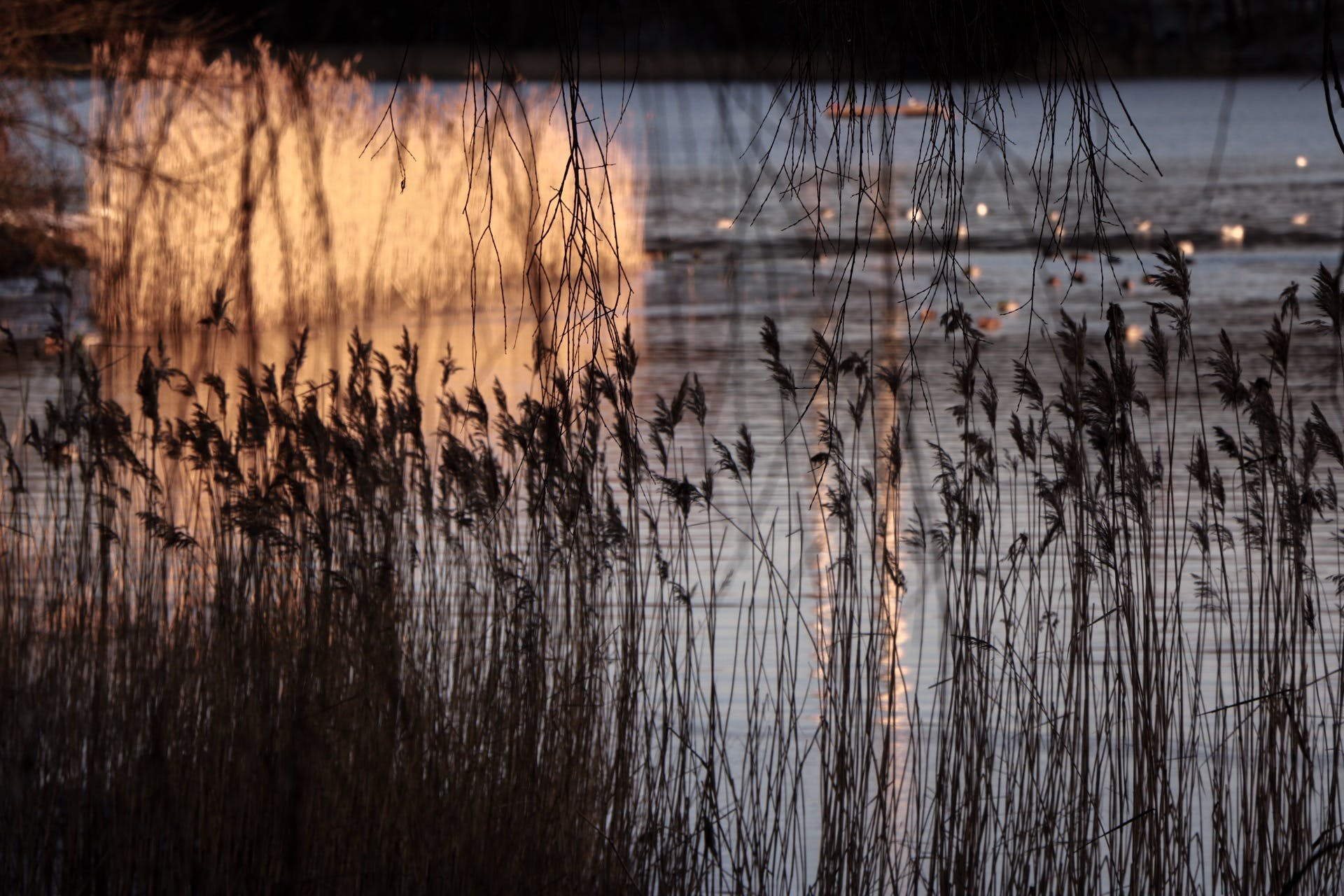 Free stock photo of cold, lake, morning, reed