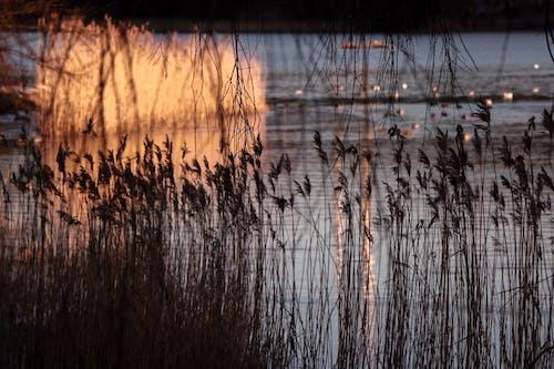 Základová fotografie zdarma na téma rákos, rýma, svítání
