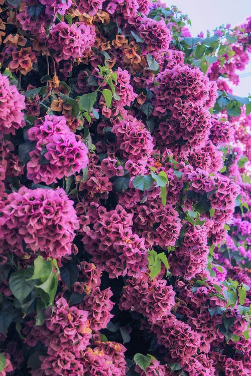 Clusters Of Blooming Lilac Flowers
