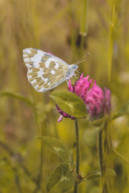 Bath White Butterfly Resting on Purple Flower