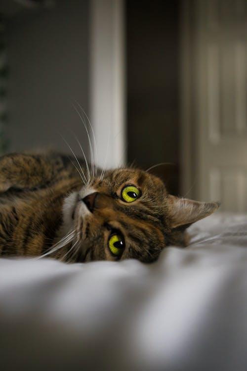 Free stock photo of cat, cat eye, cat face