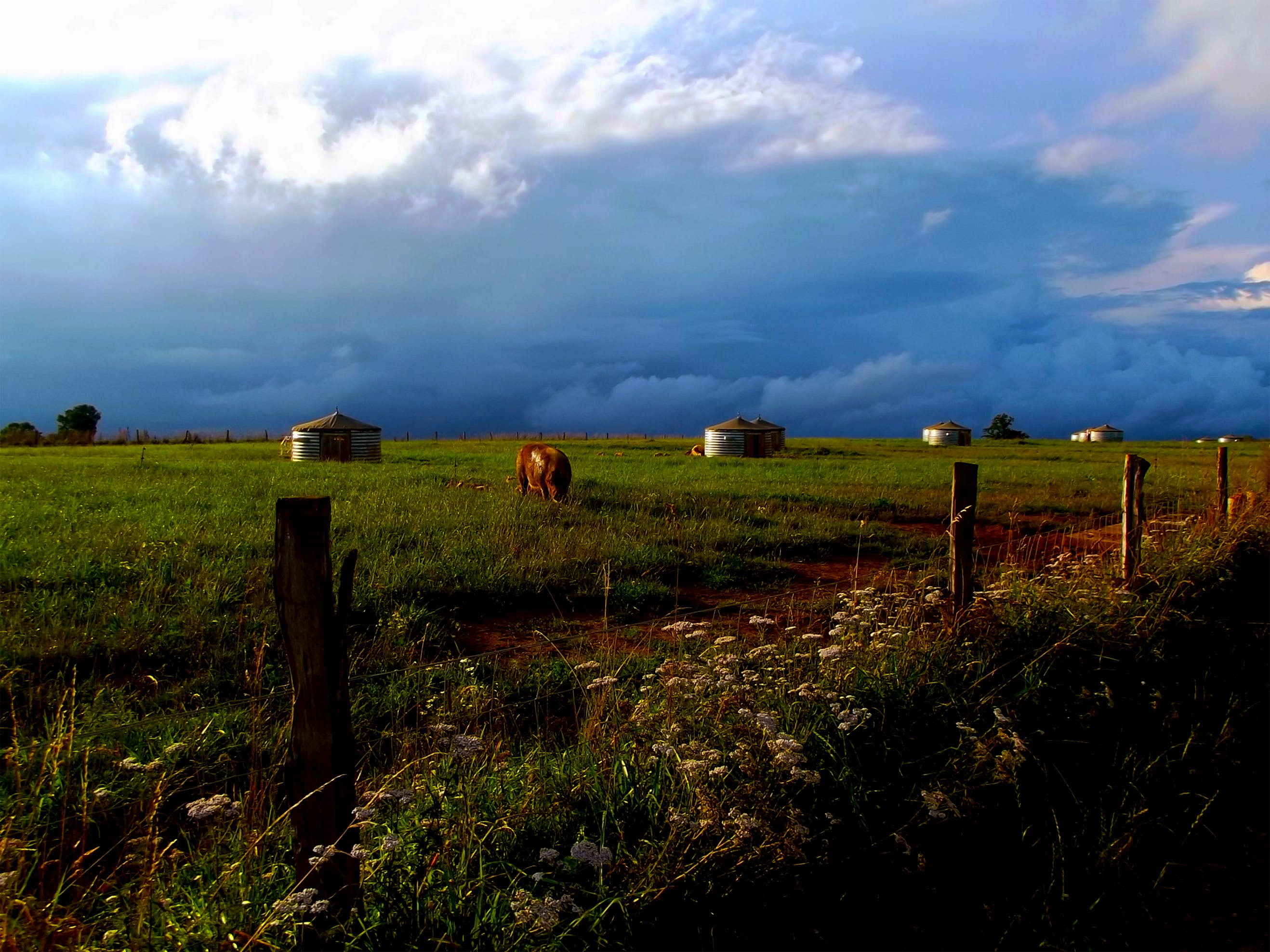 Free stock photo of clouds, cow, cows, fence