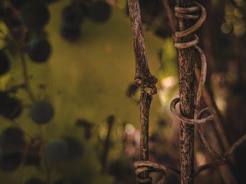 Безкоштовне стокове фото на тему «вересень, виноград, виноградарство»