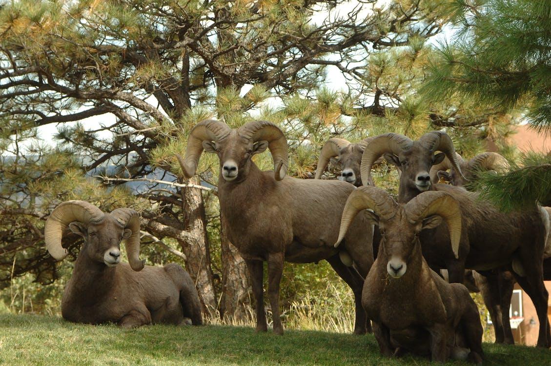 Cinco Cabras De Carnero Junto A árboles Verdes