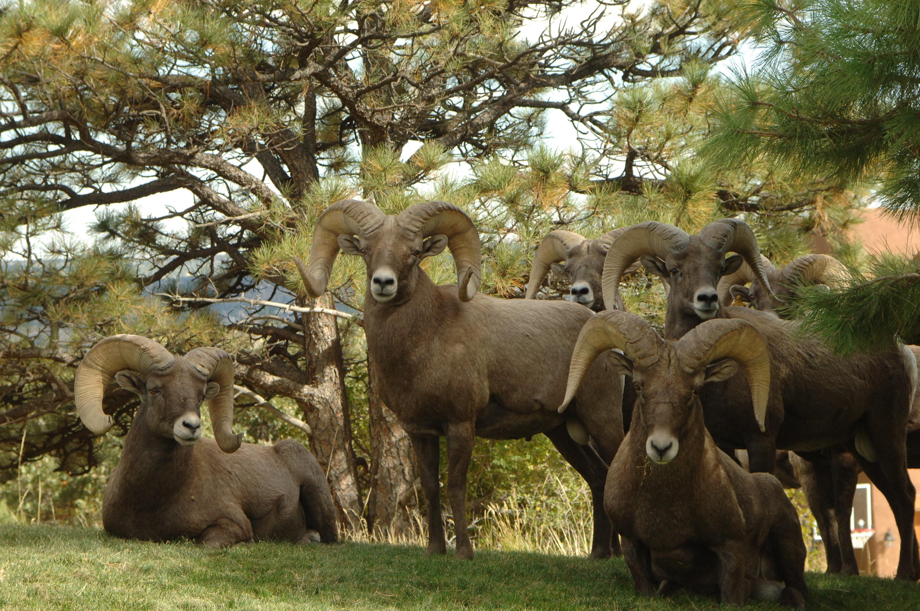 Brown Ram Goat 183 Free Stock Photo