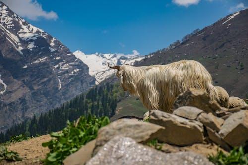 Weißes Tier Auf Klippe Tagsüber