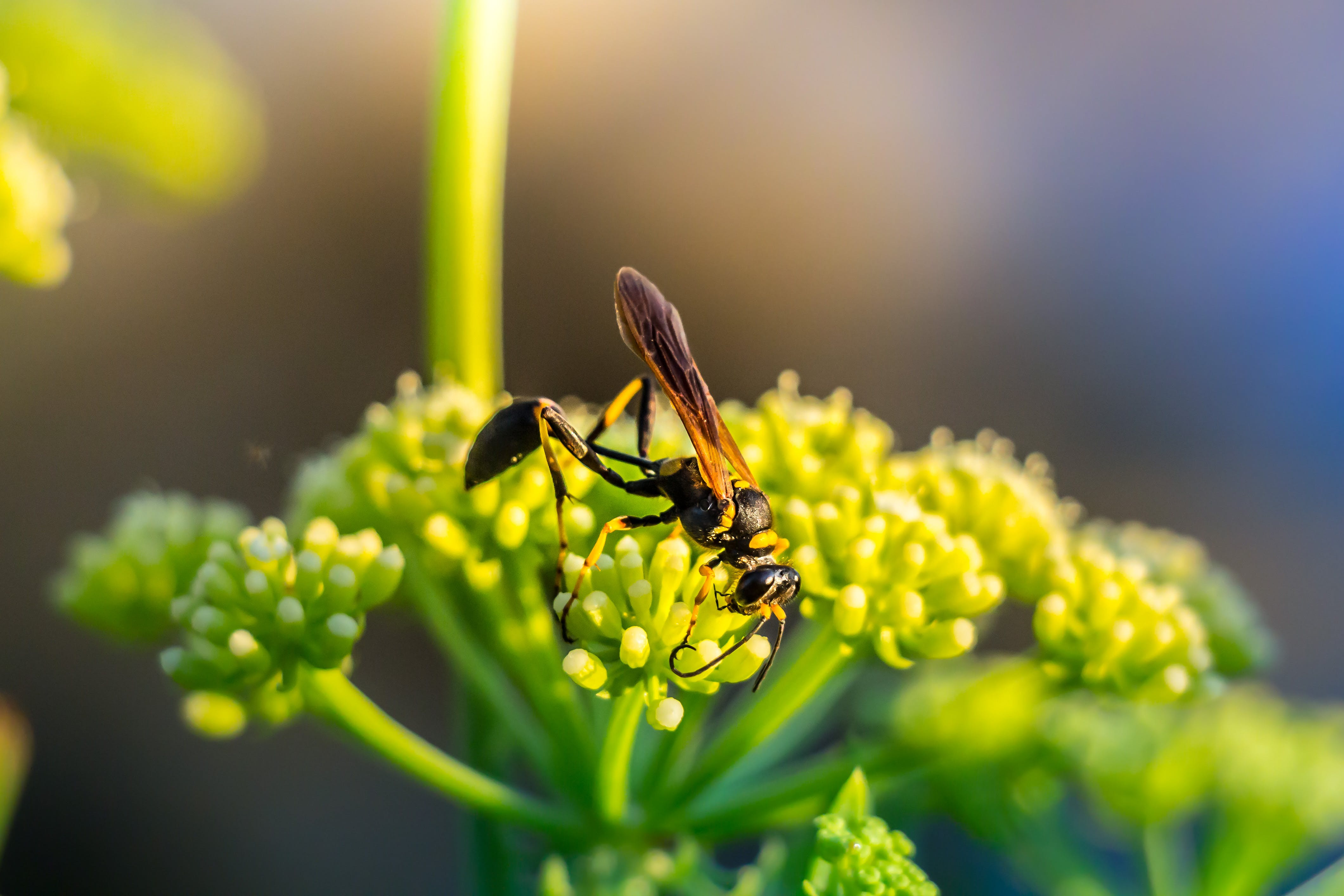 Selective Focus Photo Black and Yellow Mud Dauber on Green Plant