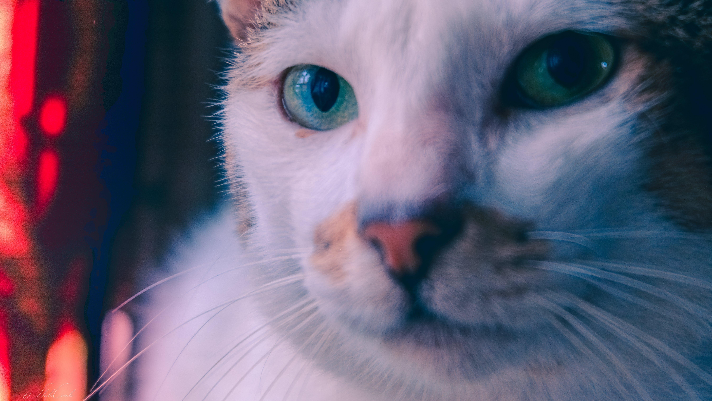 Free stock photo of animal portrait, cat, cute animals, feline