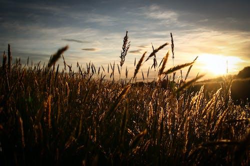 Foto stok gratis bidang, gandum, langit, matahari
