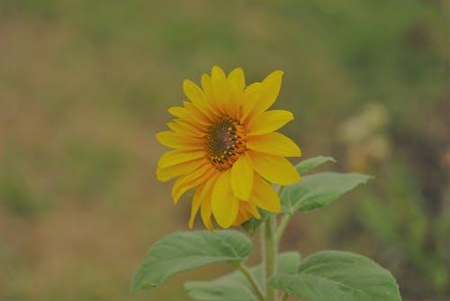 Photos gratuites de ã © tã ©, agricole, botanique, fleur jaune