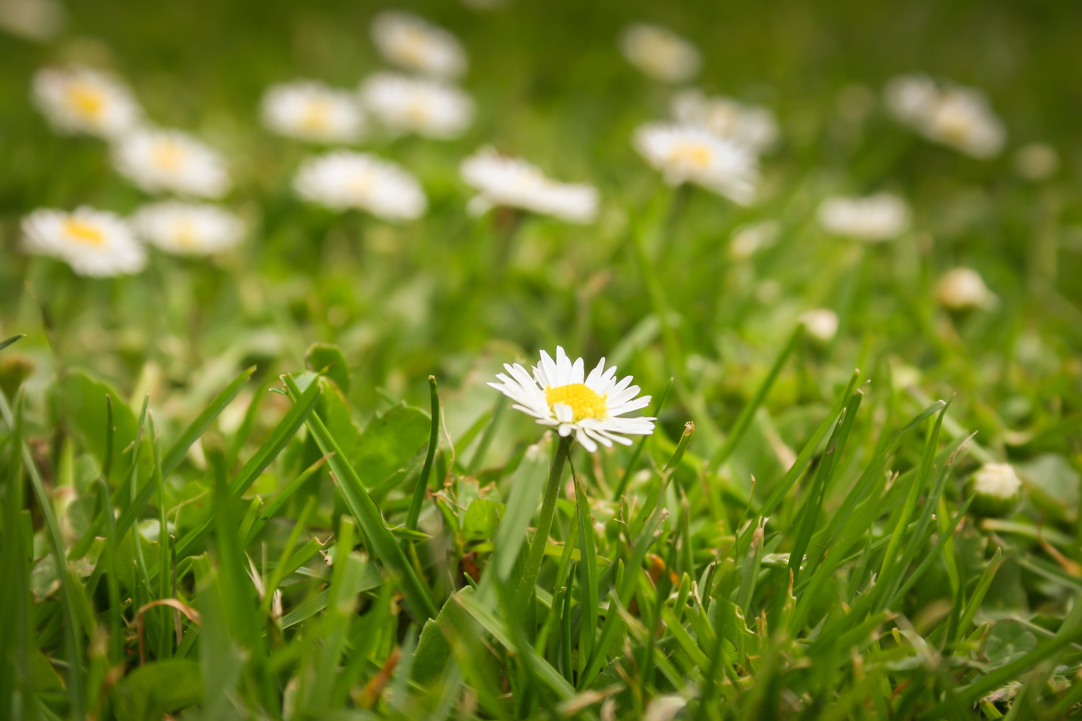 Free stock photo of flower, grass, lawn