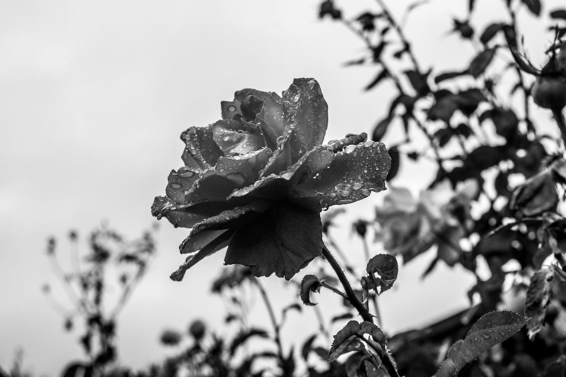 luonto, mustavalkoinen, ruusu
