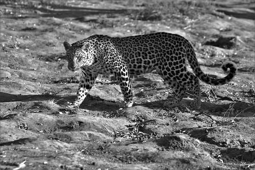 アフリカ, アフリカヒョウ, アフリカ産の無料の写真素材