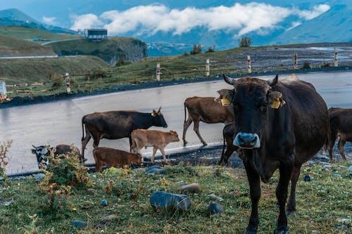 一群動物, 乾草地, 乾草田 的 免費圖庫相片
