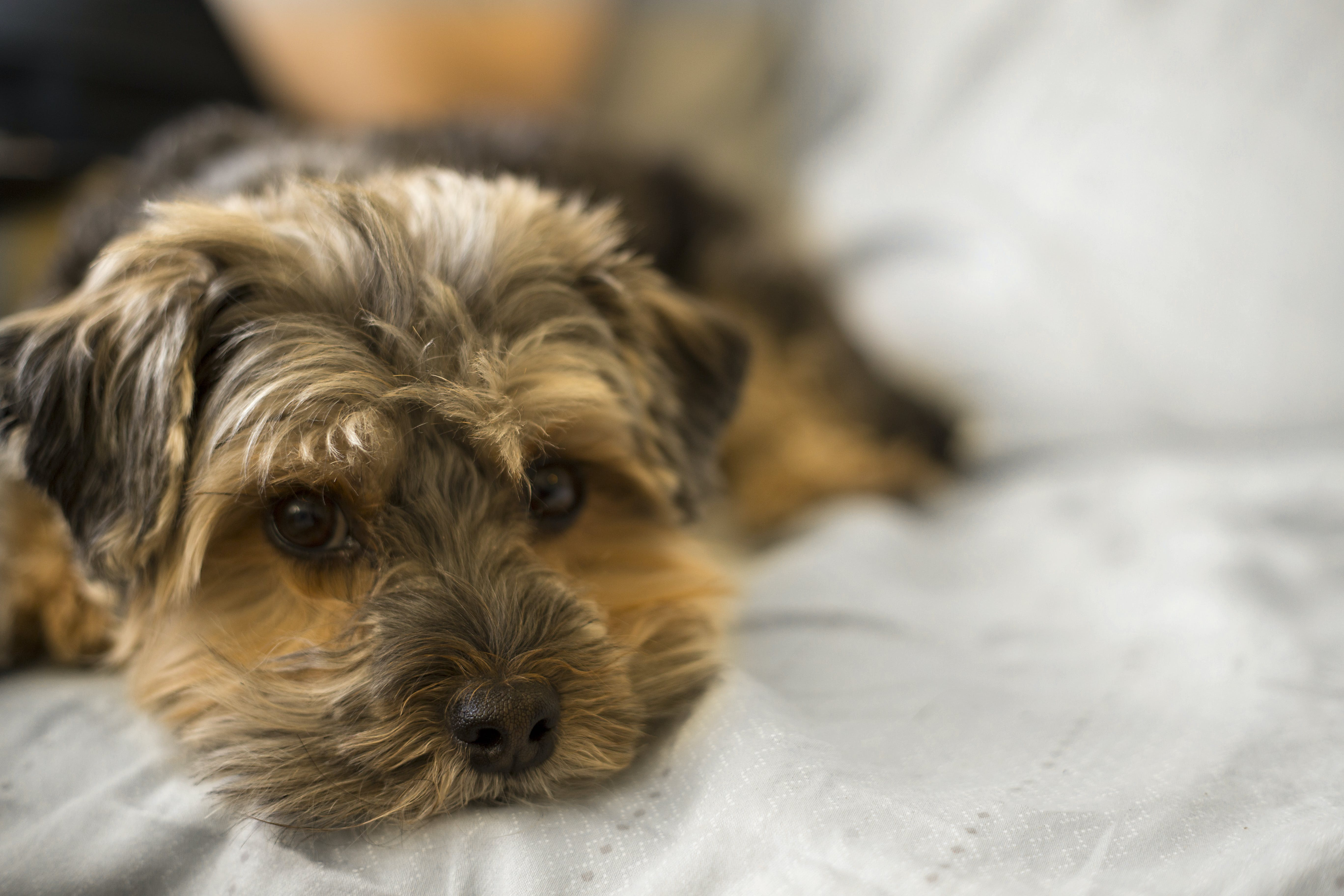 Selective Focus Photo of Long-coated Brown Puppy