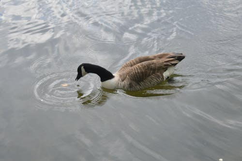 Free stock photo of goose, water drops