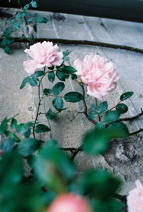 Kostenloses Stock Foto zu grün, natürlich, nikon, rose