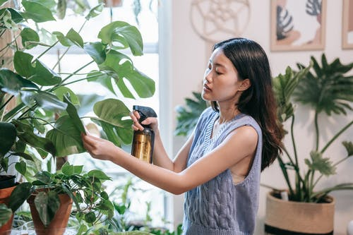 A Plant Enthusiast Watering Her Monstera Plant