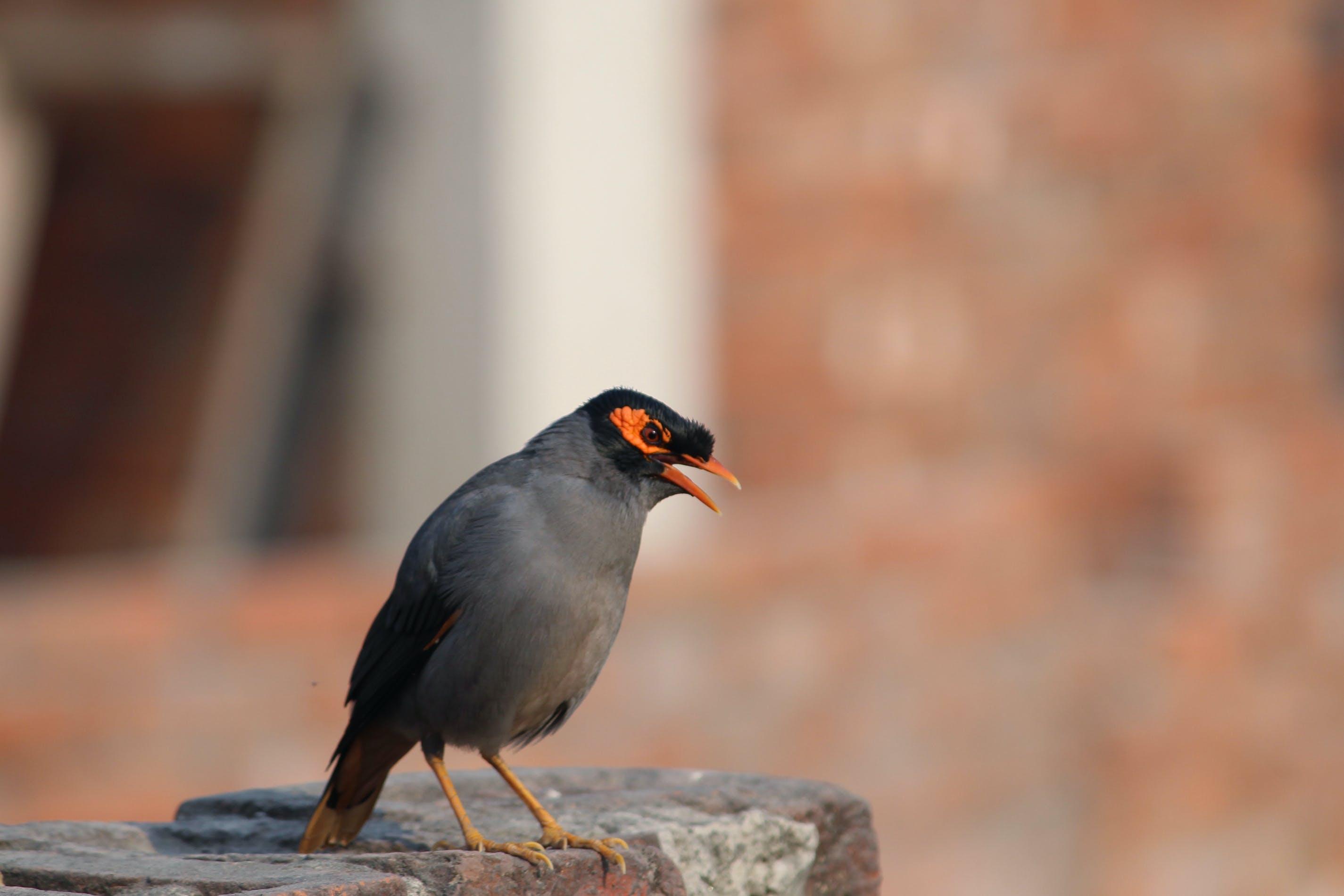 Free stock photo of home bird, india, myna, scream