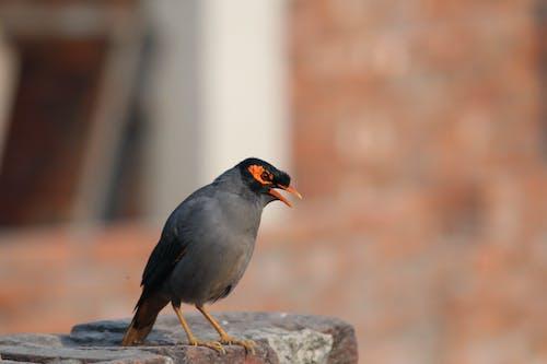 印度, 家鸟, 惊叫, 聲音 的 免费素材照片