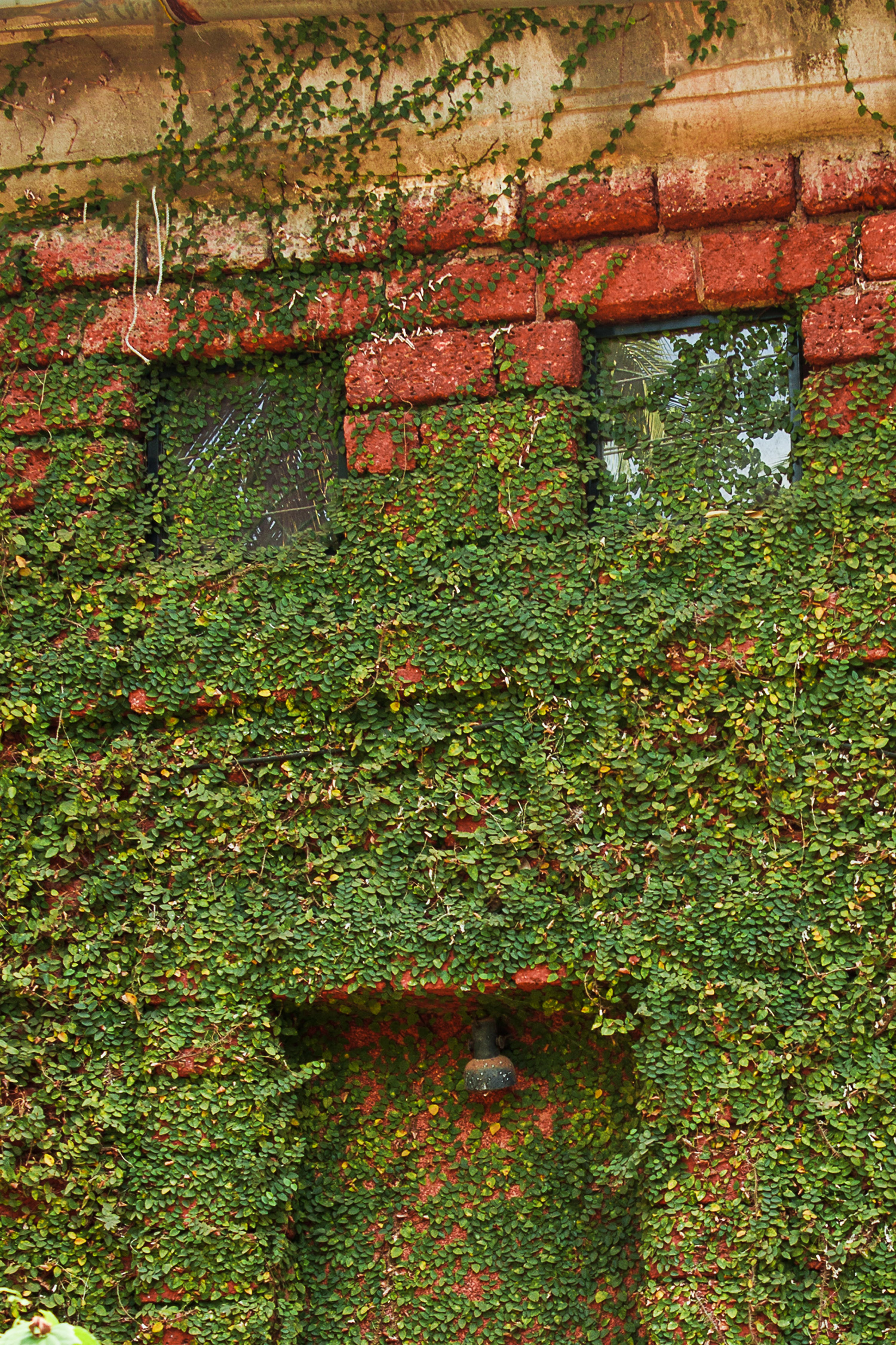 Free stock photo of building, creeper, green, red