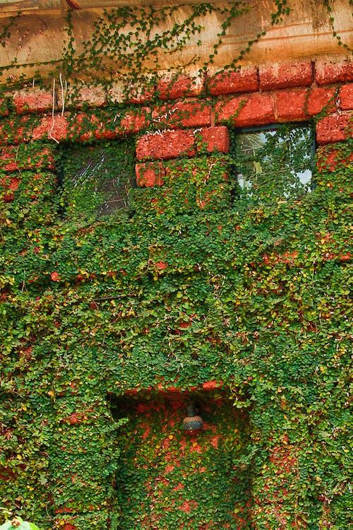 Gratis lagerfoto af bygning, grøn, rød, slyngplante