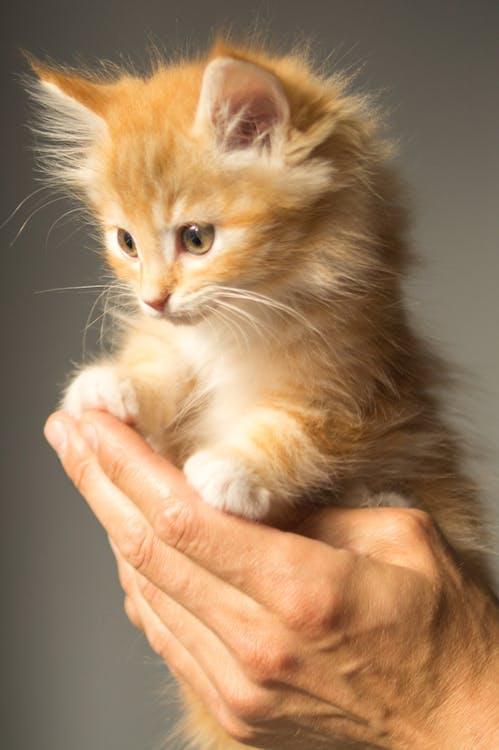 Person Holding Persian Kitten