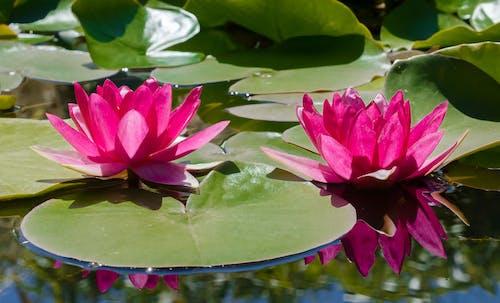 Fotos de stock gratuitas de estanque, nenúfar