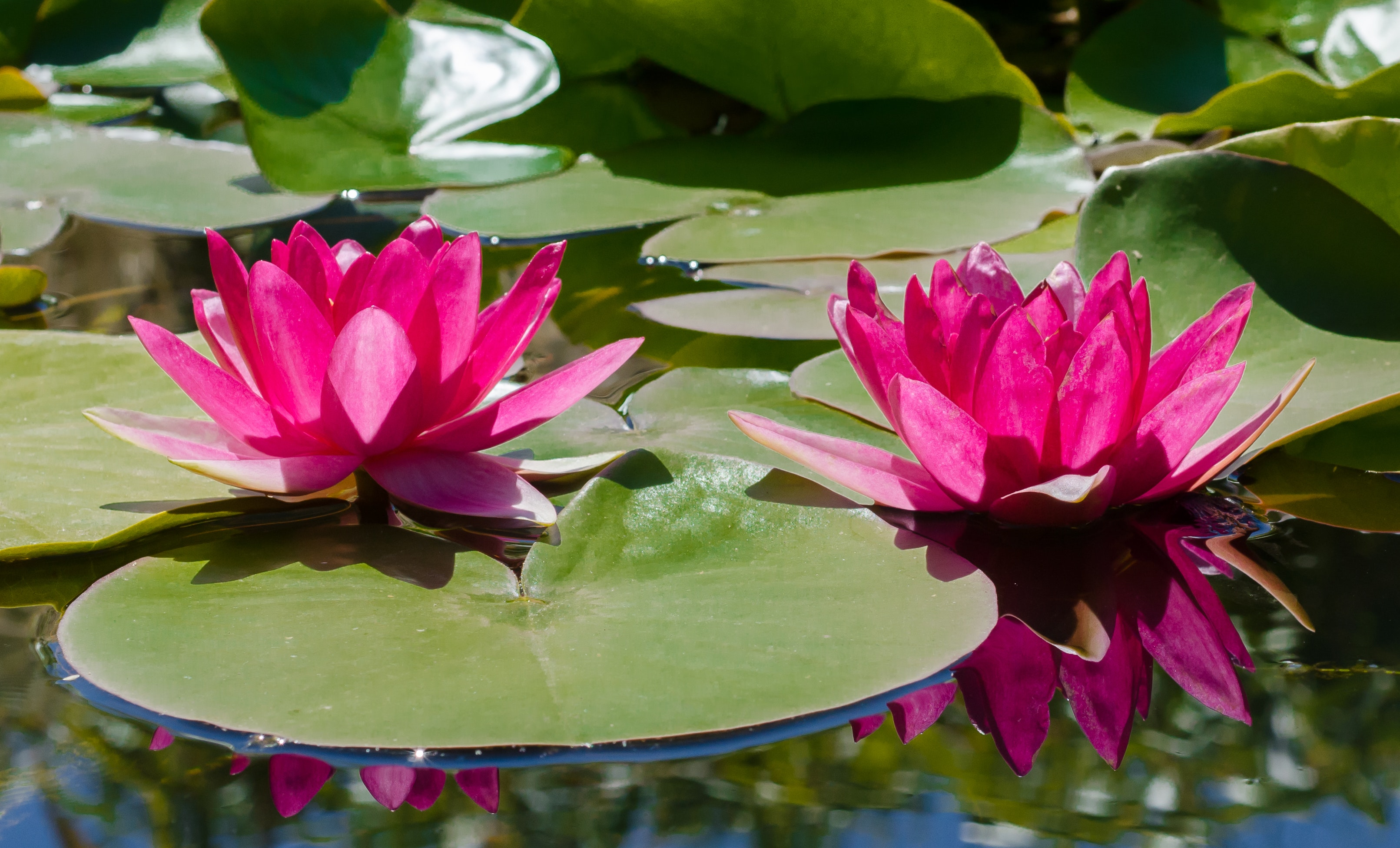 Pink Water Lily Flowers In Bloom Free Stock Photo