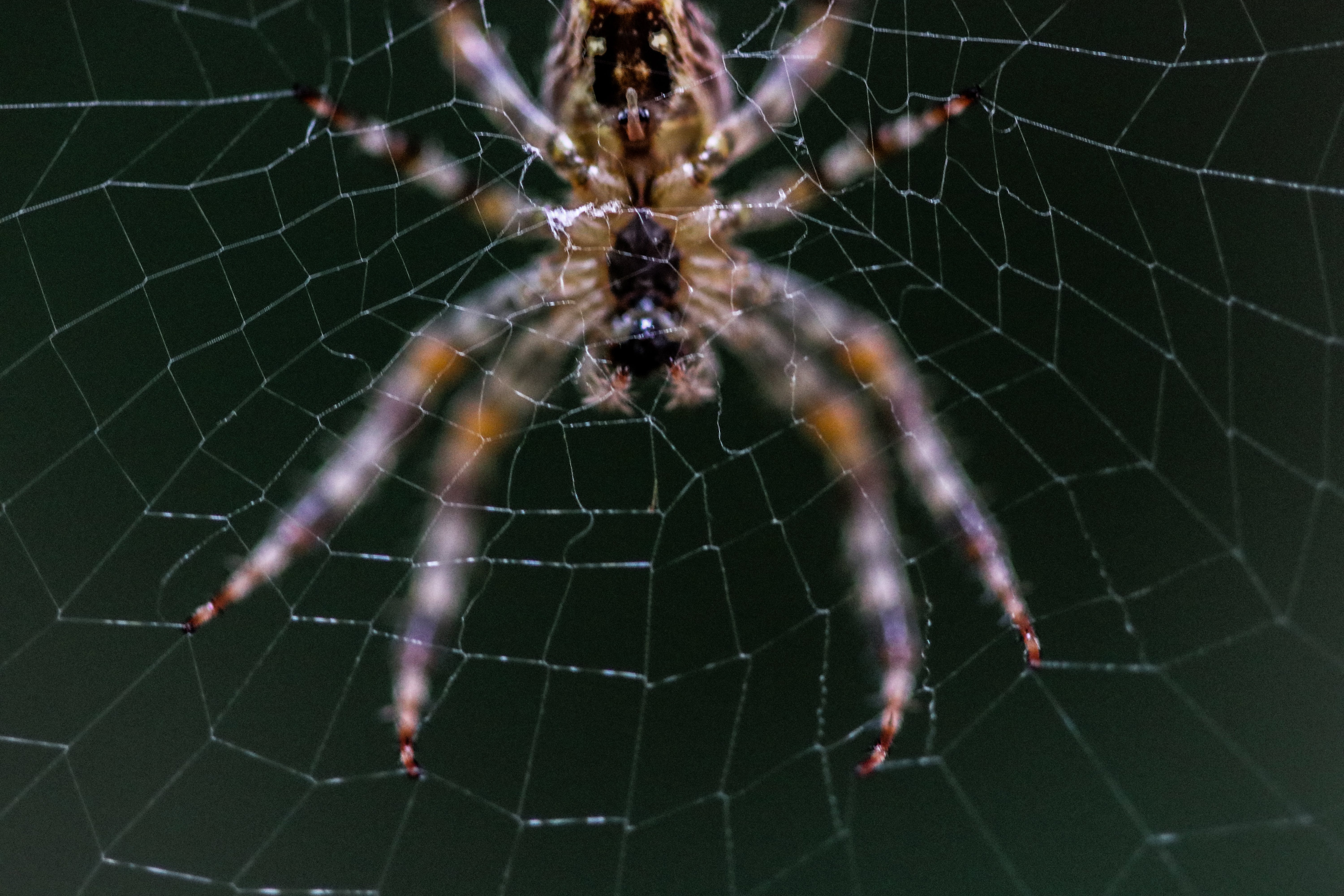 Close-up Selective Focus Photography of Barn Spider on Web