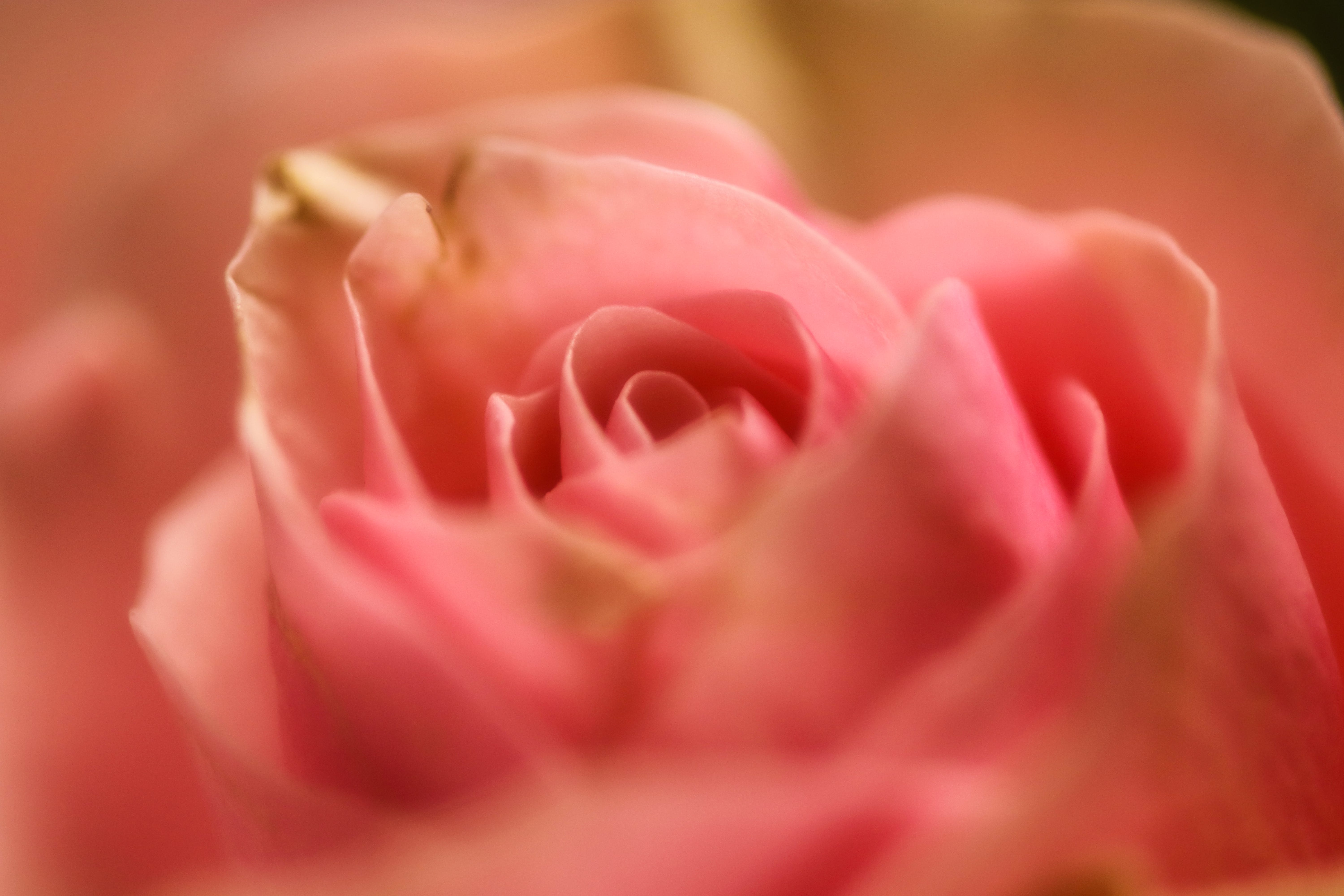 Free stock photo of #rose #love #valentine #pink