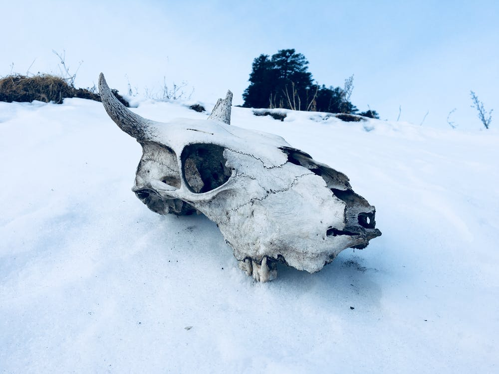 Animal Skull on Ground Covered With Snow