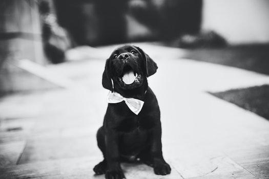 Labrador Retriever Puppy on Grayscale Photo