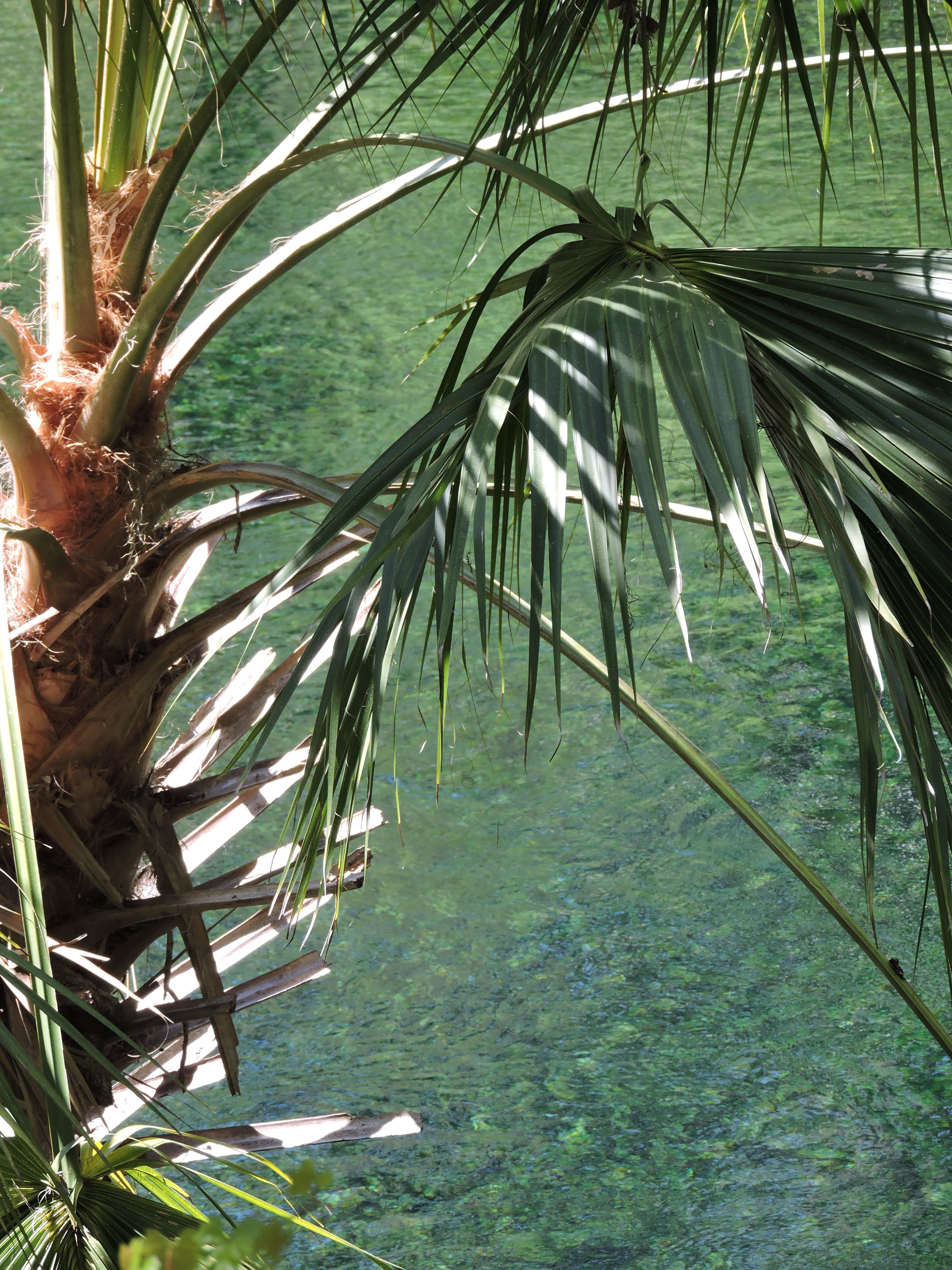 Free stock photo of blue water, palm leaves, palm tree