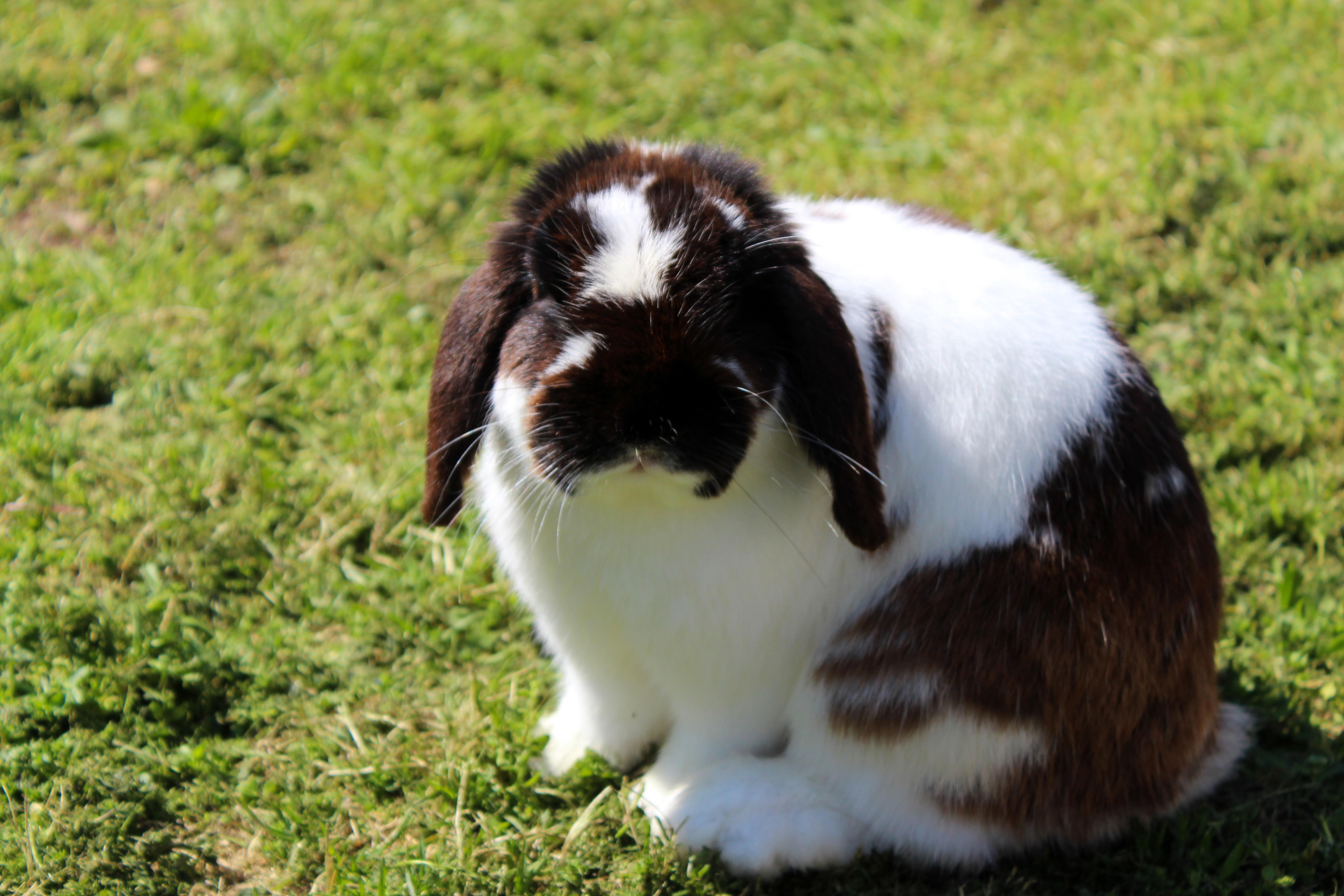 Free stock photo of bunny, floppy ears, green grass