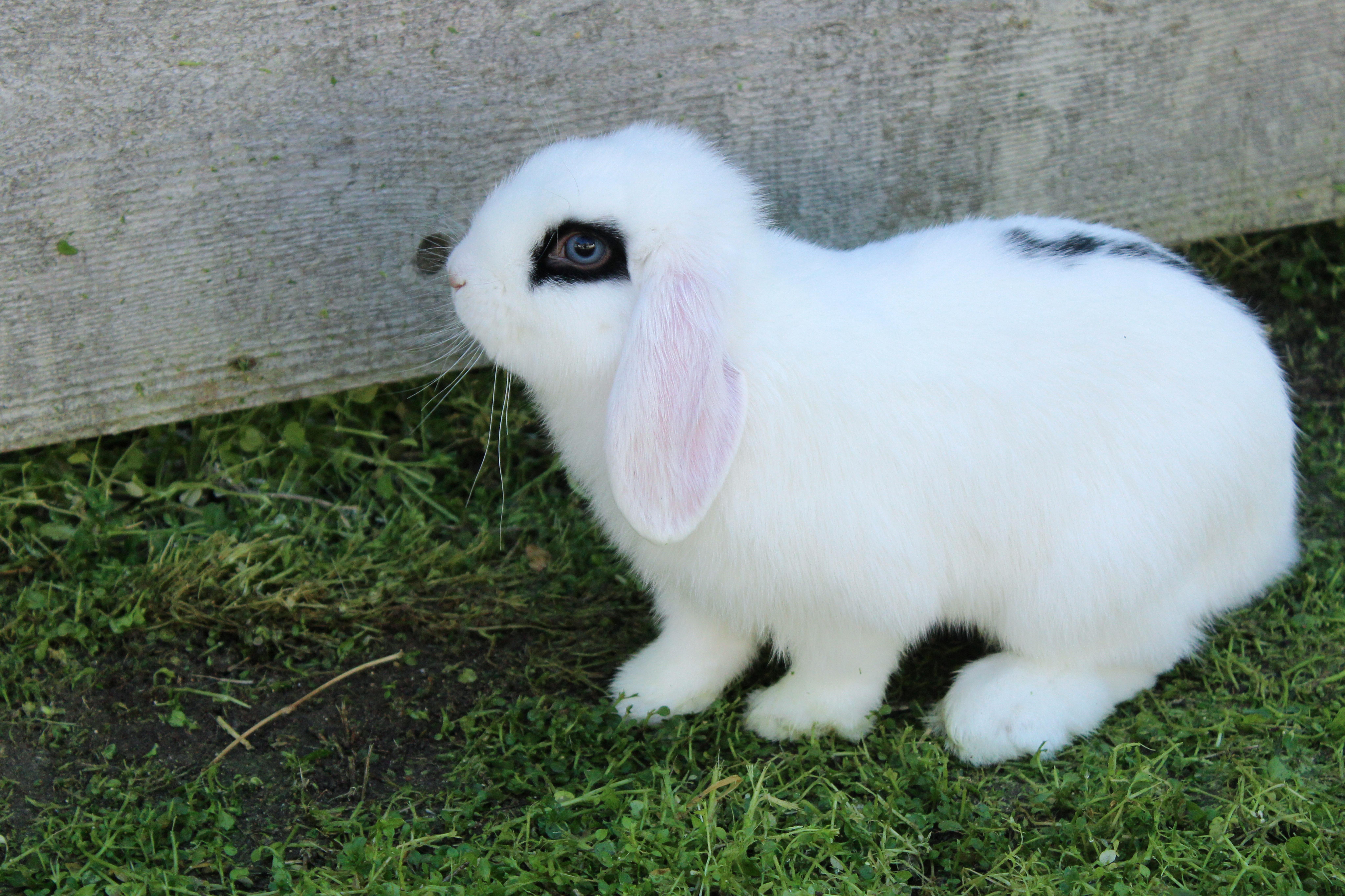 Free stock photo of blue eyes, bunny, floppy ears